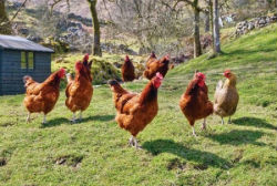 Chickens on farm 10 Interesting Facts About Chickens